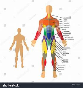 Detailed Illustration Of Human Muscles  Exercise And