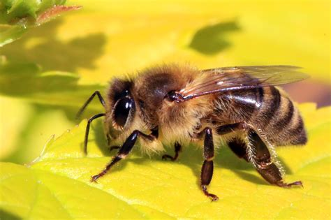 Bee Images File Honey Bee Apis Mellifera Jpg Wikimedia Commons