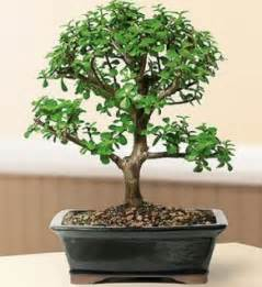 indoor bonsai trees elephant bush indoor bonsai tree