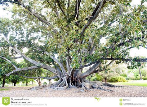 large ficus tree big ficus tree stock images image 25274984 3651