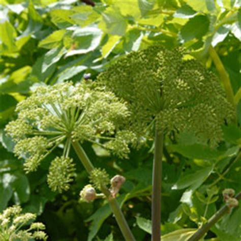 angelica plant angelica archangelica