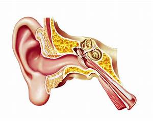 Human Inner Ear Diagram