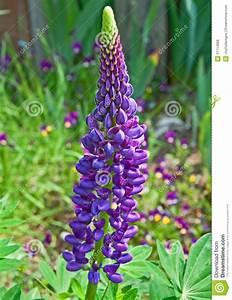 Was Ist Lupine : purpurroter lupine blumen stiel lizenzfreie stockfotos bild 31114868 ~ Yasmunasinghe.com Haus und Dekorationen