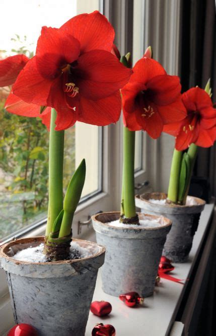 How To Bulbs Gorgeous Indoor Bloom And Color by 8 Best Raised Bed Gardening Images On Raised