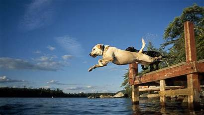 Dog Water Into Dogs Jump Lake Labrador