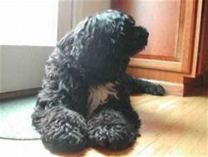 Portuguese Water Dog, lion cut, wavy - Portuguese Water ...