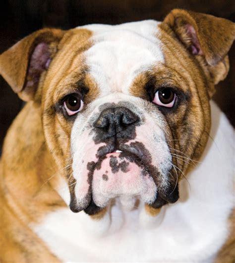 how much do american bulldogs shed bulldog