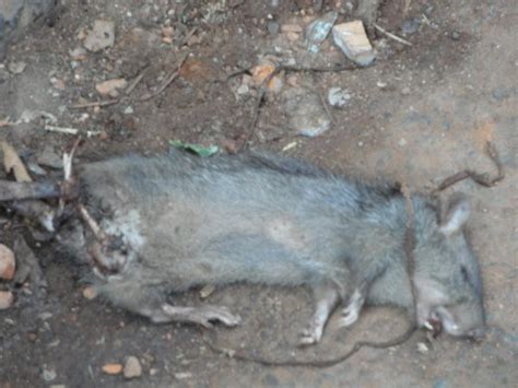 rat  hanging  santas den