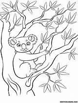 Koala Coloring Bear Pages Printable Children Koalas Bears Ll Today These sketch template