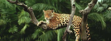 Jaguar Pics by Jaguar Species Wwf