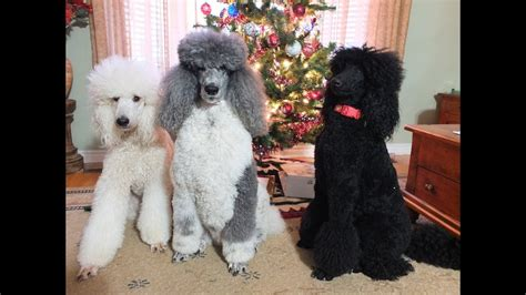 christmas fun   poodles youtube