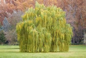 Ornamental Weeping Evergreen Trees  Weeping