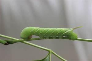 Caterpillar  Ceratomia Undulosa Free Stock Photo