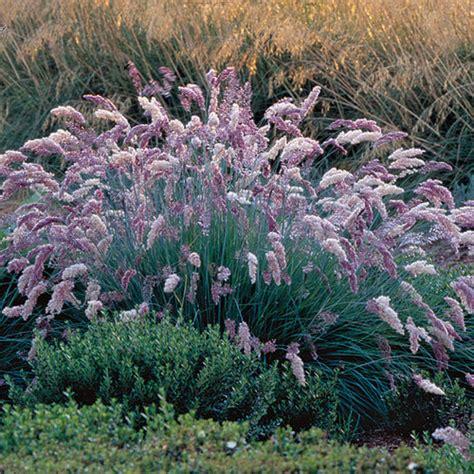 unusual grasses finegardening