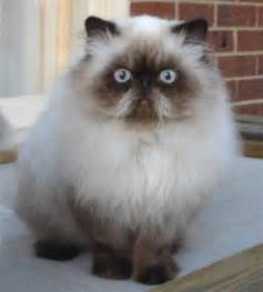 himalayan cat pictures himalayan pictures information grooming and