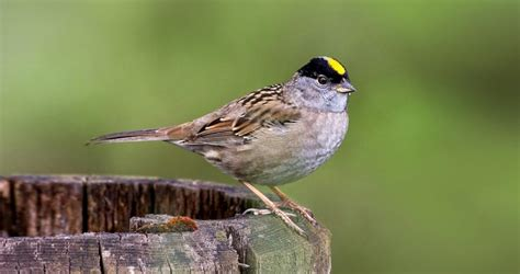 Golden Crowned Sparrow Life History All About Birds