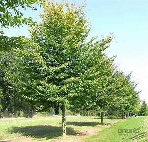 Hainbuche Baum Schneiden : bildergebnis f r hainbuche baum hainbuche baum ~ Watch28wear.com Haus und Dekorationen