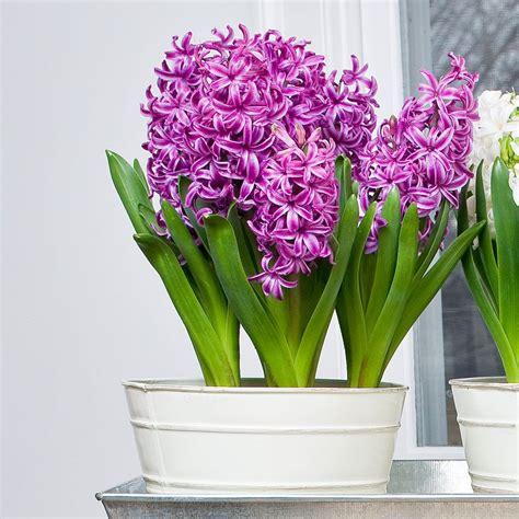 purple hyacinth sensation bulbs
