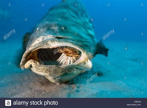 grouper goliath fish atlantic alamy feeds lobster