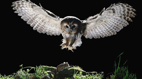 Do Barn Owls Eat Cats by What Do Owls Eat Reference