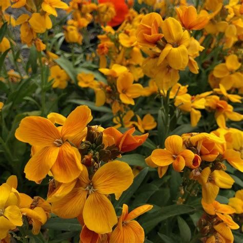 rush sugar orange erysimum wallflower pot plants flowers