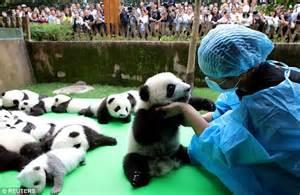 hilarious moment  panda cub  china faceplants
