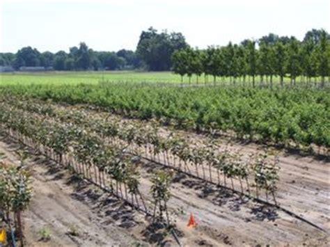 malus rootstock budagovsky  clonal rootstock bud