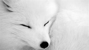 Sleeping Arctic Fox Full HD Wallpaper and Background Image ...