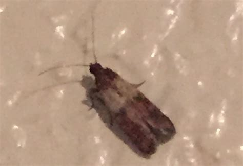 indian meal moth whats  bug