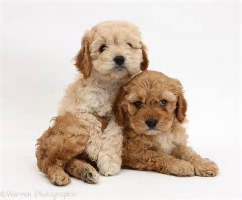 Golden Cockapoo Puppies