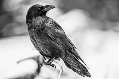 Raven Bird Animal Ravens Crow Background Birds