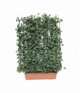 Efeu Pflanzen Kaufen : hecke am laufenden meter balkonhecke efeu 130 cm dehner ~ Michelbontemps.com Haus und Dekorationen
