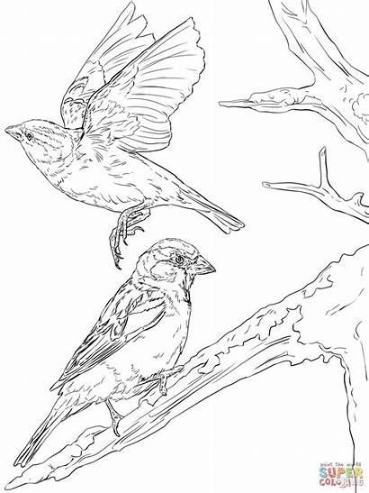 Coloring English Sparrows Pages Sparrow Bird Printable