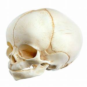 Qs 3  E Artificial Skull Of A Newborn