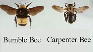 Difference between Carpenter Bees and Bumblebees ...