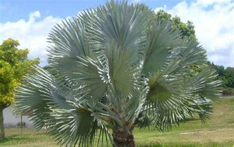 Palmeira Azul (Bismarckia nobilis) - FazFácil