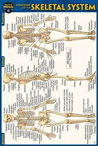 Anatomy Of The Skeletal System Pocket Guide  4 U0026quot  X 6 U0026quot