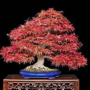 Japanese  U0026quot Atropurpureum U0026quot  Maple - Acer Palmatum Atropurpureum