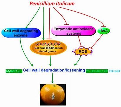 Biomolecules Cell Wall Citrus Modification Reticulate