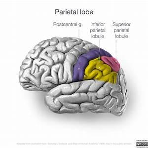 Neuroanatomy  Lateral Cortex  Diagrams
