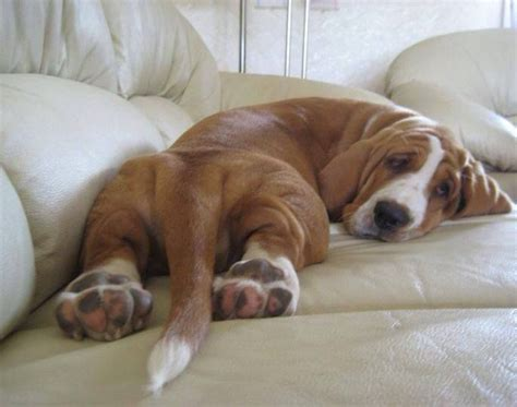 reasons basset hounds   worst breed