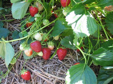 wann erdbeeren pflanzen wann erdbeeren pflanzen die antwort lubera 174