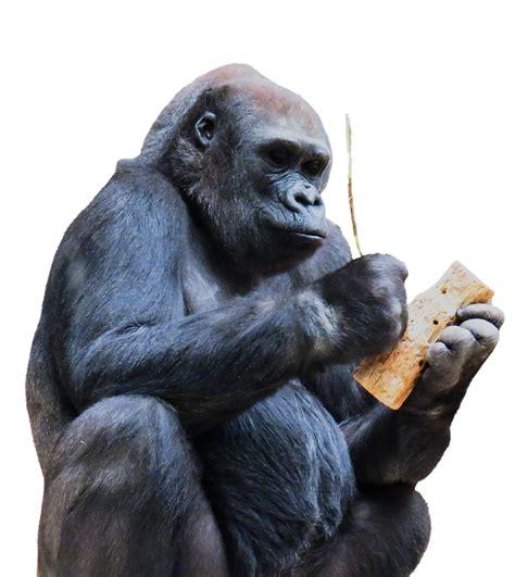 gorilla png transparent clipart image