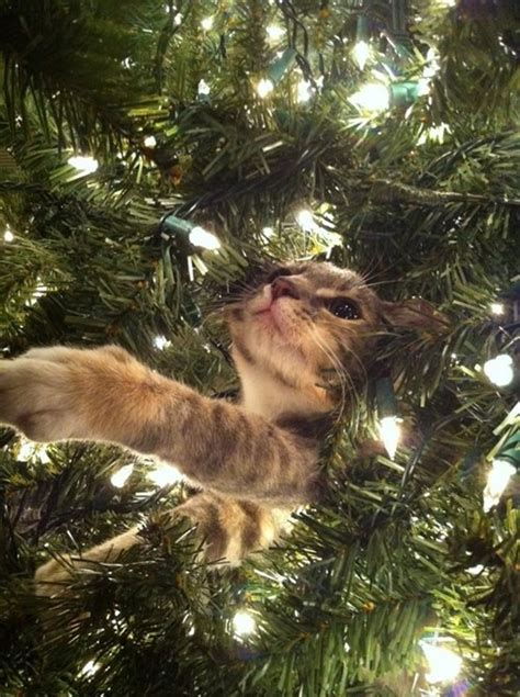 funny pictures of cats and christmas trees cards info lists and trivia