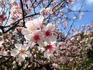 Rosa Blüten Baum : kostenlose bild kirschbaum bl te rosa bl ten fr hling ~ Yasmunasinghe.com Haus und Dekorationen