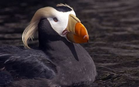 wallpapers tufted puffin wallpapers