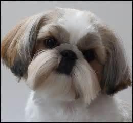 Shih Tzu Different Haircuts