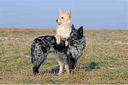 Mudi Dog Breed Mudis Merle Dogtime Breeds