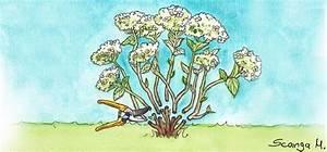 Hortensien Schneiden Video : hortensien so schneidest du sie richtig alle wichtigen ~ Lizthompson.info Haus und Dekorationen