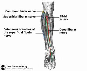 The Common Fibular Nerve - Course - Motor
